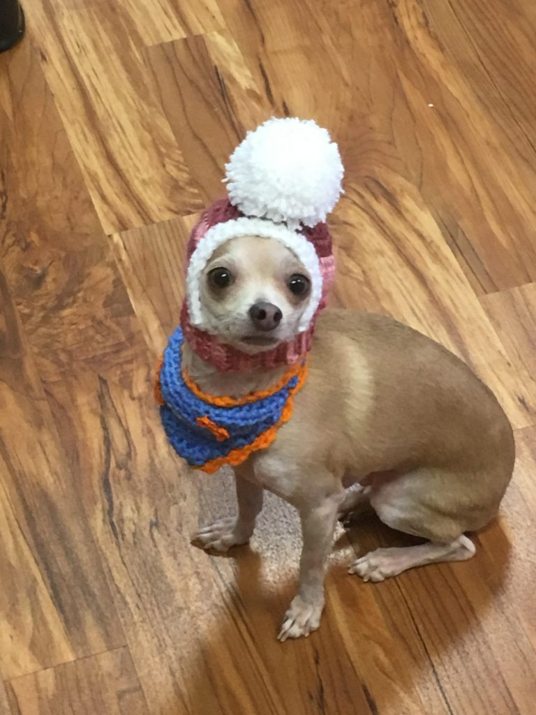 A blond chihuahua wearing a crochet hat with a Pom Pom and a blue and orange bandana.