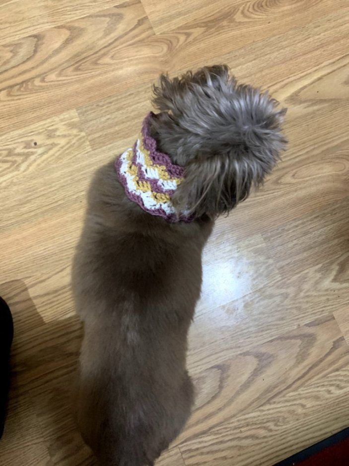 Crochet cowl on a brown Shih Tzu.