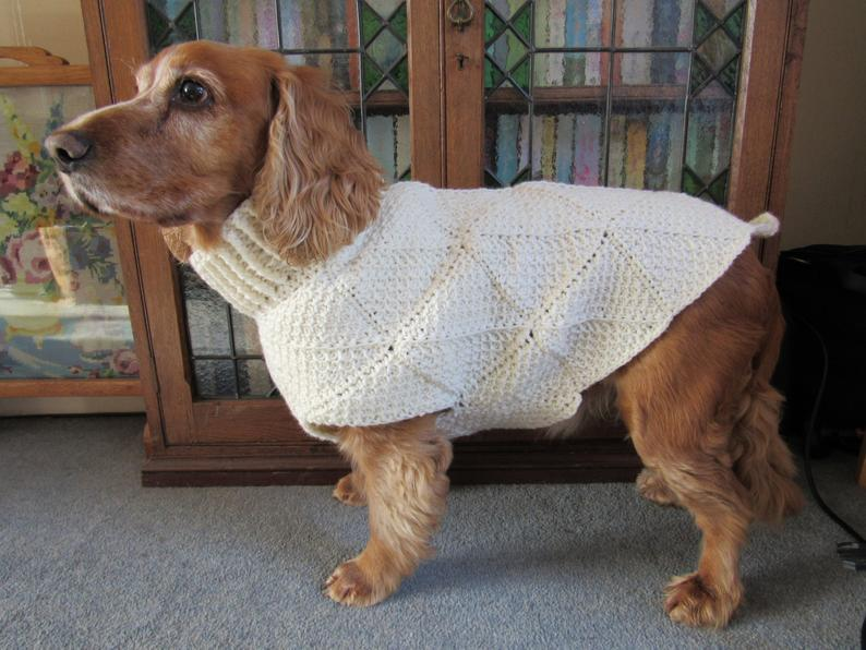 A short stubby dog wearing a white sweater.