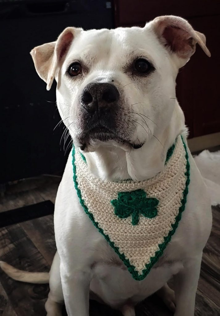 A yellow lab dog wearing an off-white crocheted bandana with a green shamrock on it.