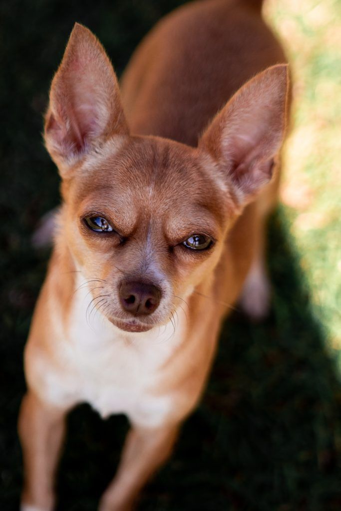 A cute, tan chihuahua with straight ears looking at the camera for Walk on Your Wild Side Day.