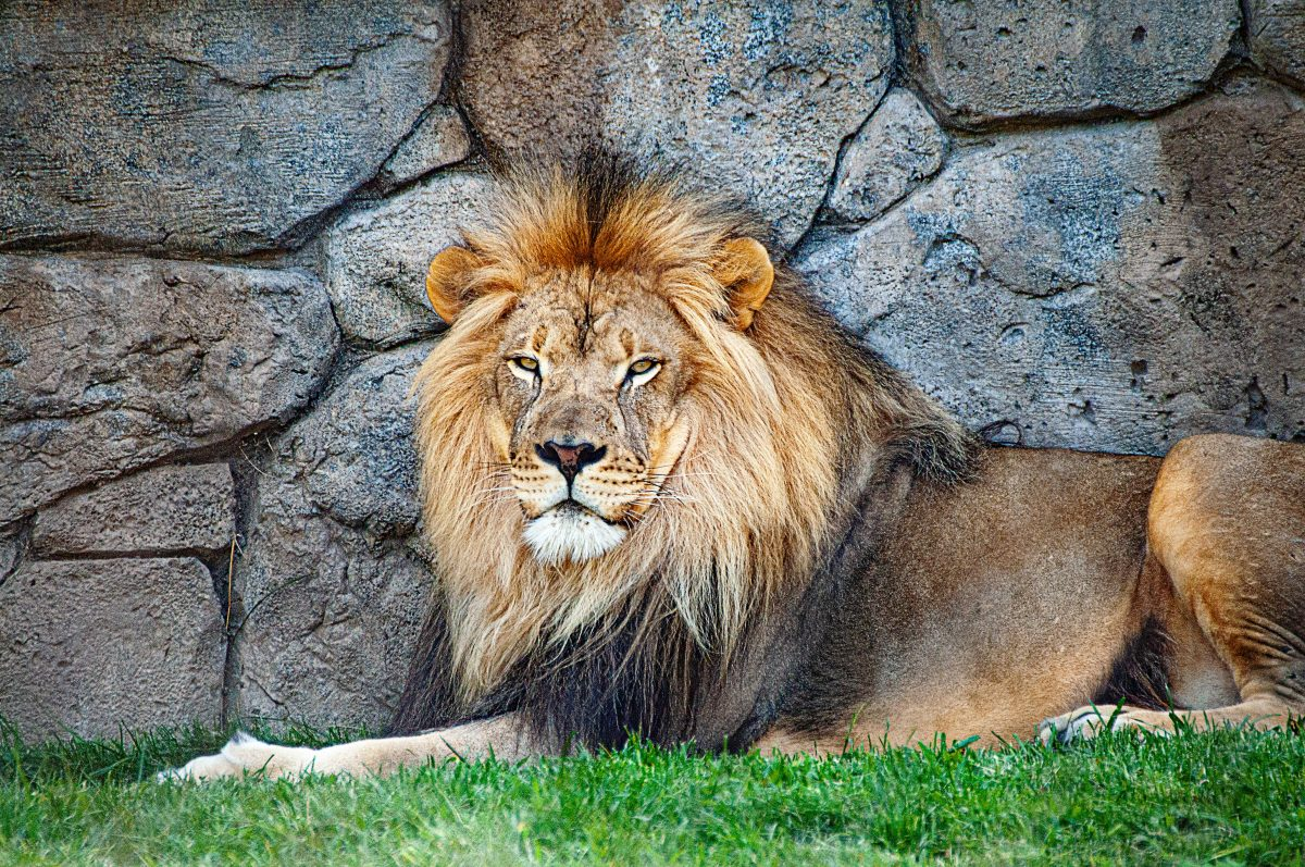 Male lion laying on grass in front of a stone wall.